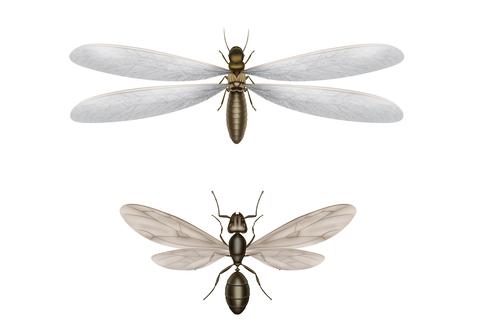 flyingtermitesants